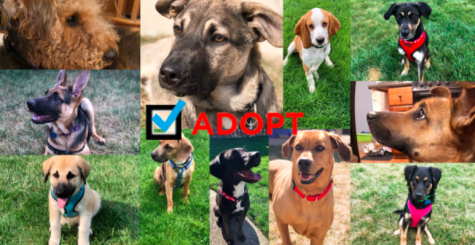 Pet adoptions and the pandemic